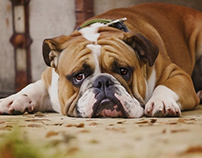 Considerations to Make Before Adopting a Bull Dog