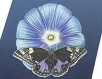 Morning Glory Flower and Butterfly Pencil Drawing