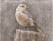 Female Blue Bird, Smoky Mountain National Park
