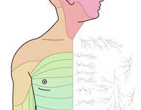 Dermatomes - spinal cord pain distribution