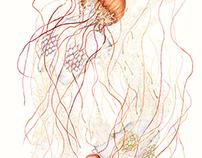 Jellyfish V // Metamorfish II drawings