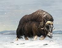 Le bœuf musqué - Illustration animalière