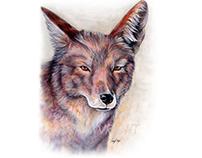 Coyotes - Canis latrans