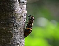 Cicada @ Vythiri - Wayanad