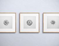 Chrysanthemum Studies