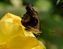 Butterfly (Myscelia cyaniris)