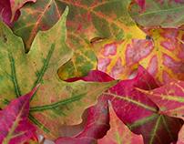 Maple Leaves Still Life