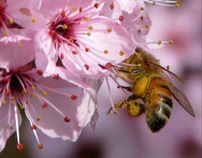 Bee and Cherry Blossom