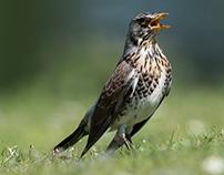 Singing fieldfare