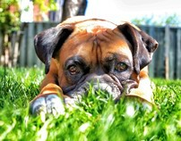 Rocky the Boxer