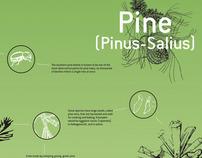 Pine Infographic
