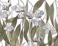 Silver Princess Eucalyptus