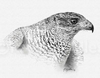 Goshawk Drawing