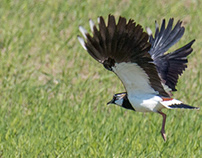 Northern lapwing - Tofsvipa