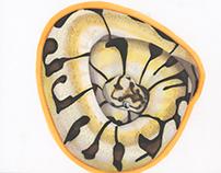 Bumblebee Ball Python