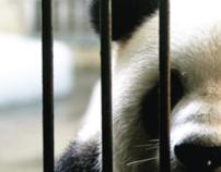 Panda Dilemma