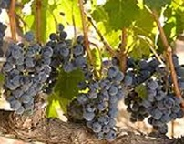 Cabernet Sauvignon and Chardonnay