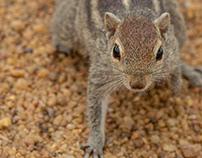 Indian palm squirrel or three-striped palm squirrel !