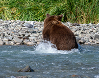 Alaska, Inexperienced grizzly fishing