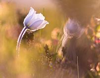 Anémone alpine - Pulsatilla alpina