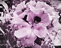 My geranium ...