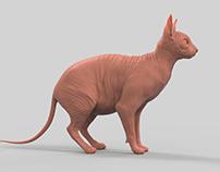 Sphynx Cat - Anatomy Study