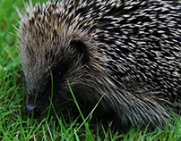 Rodger The Hedgehog