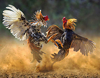Referral Sabung Ayam Online
