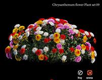 Chrysanthemum flower plant set 09