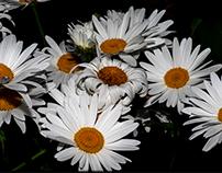 Big daisies...