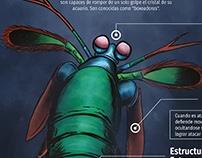 Infografía e ilustración de la Mantis Marina.