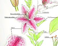 Ilustración científica, botánica.