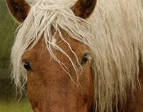 Le cheval Comtois