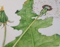 Dandelion watercolor illustration