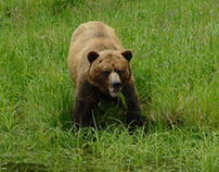Khutzeymateen Bears (1)