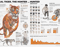 BENGAL TIGER, THE HUNTER...HUNTED