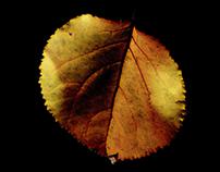 One last apricot tree leaf... (single shot)