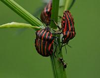 """bugs & cicadas (hemiptera)"""