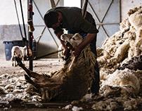 La tosatura delle pecore di Saverio
