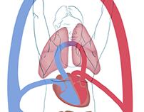 Organ Anatomy of Yoga
