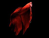 Siames Fightingfish