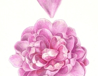 Susy Dirr Camellia