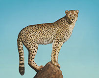 Cheetah / Wildlife Project