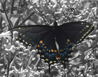 Black Swallowtail Butterfly in Spring