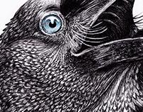 Corvus Coronoides