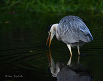 HERON AND EGRET...