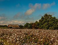 Cotton Field & Dairy Barn