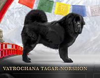 advertise of Tibetan Mastiff