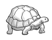 Galapagos Tortoise or Geochelone Nigra Endangered