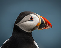 Mykines Puffins